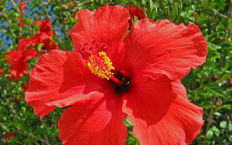 Seeing red: The healing hibiscus flower